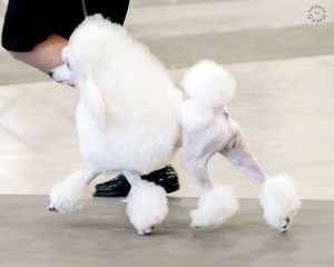 Pictures from the AKC Dog Show in Alexandria, LA January 2017