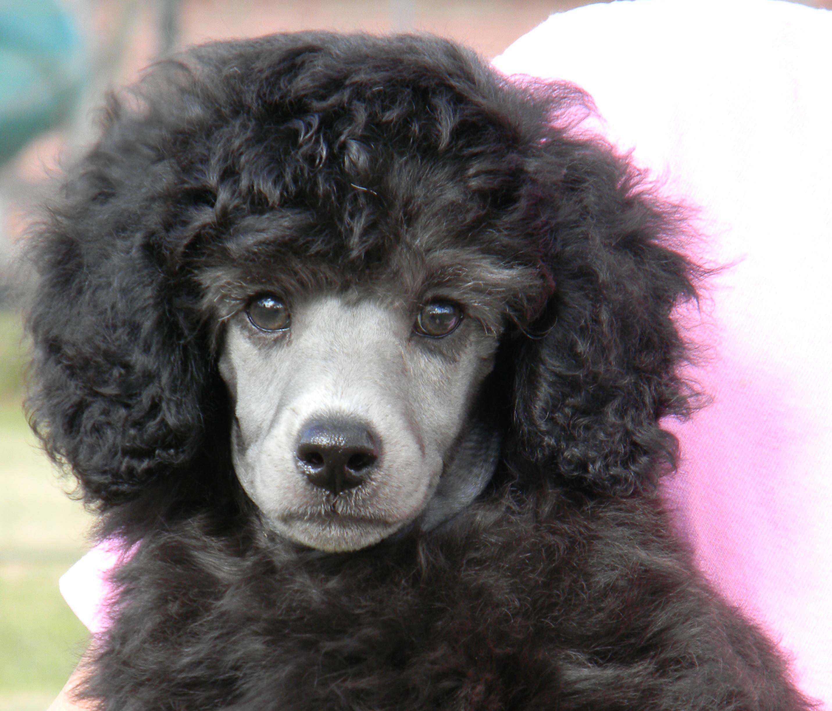 Miniature Poodles
